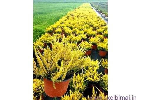 Gėlių ūkis - Plungė