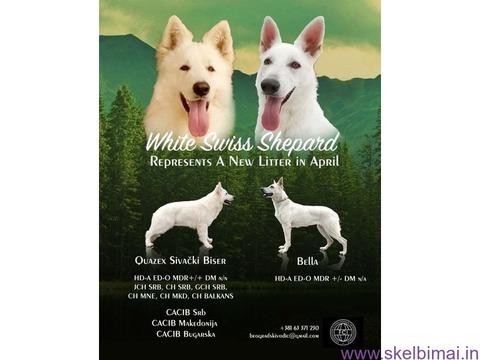 Baltųjų Šveicarijos aviganių šuniukai